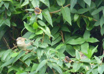 sparrows 003