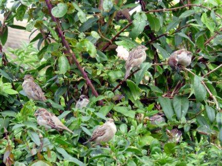 sparrows 006