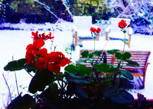The dog has been out making doggie-angels in the snow, and is busy dripping all over the living room rug (the only actual good one in the house). It's been a strange, late winter here in Scotland. Just a week ago, I brought in the last of the roses. The geraniums in the window boxes are still blooming, despite the snow. In her blog post on Naming Storms in Britain and Ireland, my ever-entertaining fellow expat, Ellen Hawley, talks about the political and social comparisons of named storms in the US and UK. It reminded me of a weather post from a few years ago. Enjoy!