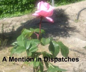 pink rose cropped
