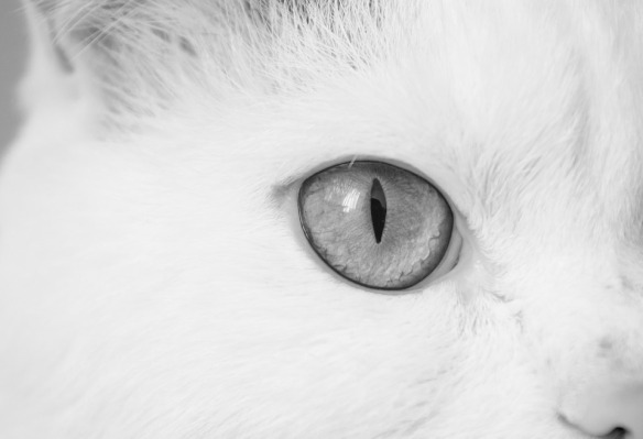cat-843457_960_720 white
